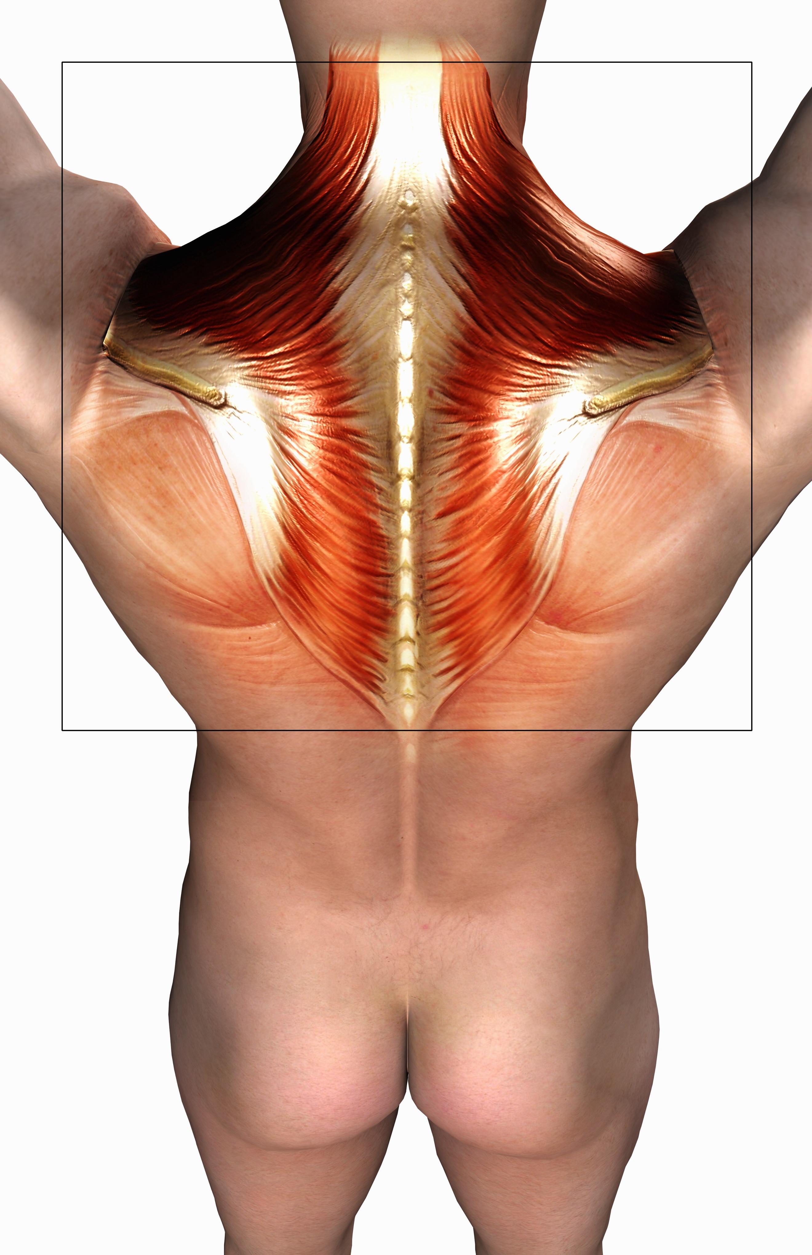 El deficit de DAO provoca contracturas musculares, especialmente en los trapecios